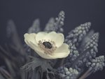 Close-up of anemone flower Fine Art Print by Assaf Frank