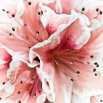 Close-up of azalea flower, full frame Wall Art & Canvas Prints by Assaf Frank
