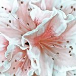 Close-up of azalea flower, full frame
