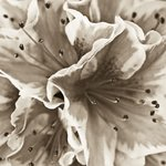 Close-up of azalea flower, full frame (Sepia) Wall Art & Canvas Prints by Assaf Frank