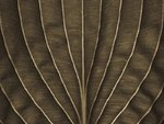 Extreme close-up of hosta leaf, full frame (Sepia) Wall Art & Canvas Prints by Assaf Frank