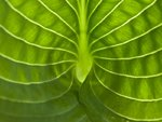 Extreme close-up of hosta leaf, full frame Postcards, Greetings Cards, Art Prints, Canvas, Framed Pictures & Wall Art by Assaf Frank