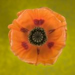 Close-up of orange oriental poppy on patterned background Wall Art & Canvas Prints by Sarah O'Toole