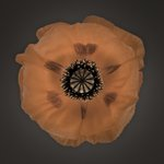 Close-up of white oriental poppy Fine Art Print by Assaf Frank