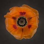 Close-up of orange oriental poppy Fine Art Print by Assaf Frank