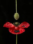 Close-up of red poppy with flower bud hanging Wall Art & Canvas Prints by Assaf Frank