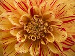Extreme Close-up of Dahlia Petals Postcards, Greetings Cards, Art Prints, Canvas, Framed Pictures & Wall Art by Assaf Frank