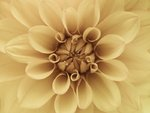 Extreme Close-up of Dahlia Petals Wall Art & Canvas Prints by Assaf Frank
