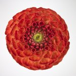 Close-up of pompom Dahlia flower Wall Art & Canvas Prints by Ruth Addinall