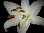 Close-up of White Lily Wall Art & Canvas Prints by Sarah O'Toole