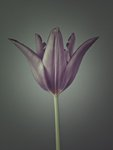 Single tulip flower Postcards, Greetings Cards, Art Prints, Canvas, Framed Pictures, T-shirts & Wall Art by Ursula Hodgson