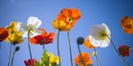 Poppies against blue skies Wall Art & Canvas Prints by Ruth Addinall