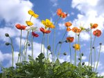 Poppies against blue skies Fine Art Print by Ruth Addinall