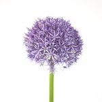 Allium flower close-up Fine Art Print by Assaf Frank