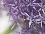 Allium flower close-up Postcards, Greetings Cards, Art Prints, Canvas, Framed Pictures, T-shirts & Wall Art by Assaf Frank