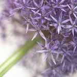 Allium flower close-up Wall Art & Canvas Prints by Assaf Frank