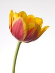 Red and yellow tulip flower close-up Postcards, Greetings Cards, Art Prints, Canvas, Framed Pictures, T-shirts & Wall Art by Ursula Hodgson