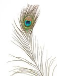 Single Peacock feather