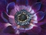 Anemone flower extreme close-up Wall Art & Canvas Prints by Assaf Frank