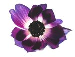 Anemone flower back lit Wall Art & Canvas Prints by Assaf Frank