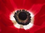 Anemone flower close-up, back lit Postcards, Greetings Cards, Art Prints, Canvas, Framed Pictures & Wall Art by Assaf Frank