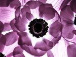 Anemone flower close-up, back lit Wall Art & Canvas Prints by Assaf Frank
