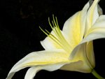 Lily flower close-up Postcards, Greetings Cards, Art Prints, Canvas, Framed Pictures, T-shirts & Wall Art by Ursula Hodgson