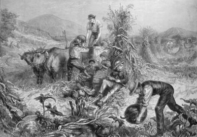American Husbandry: Gathering Pumpkins and Husking Maize, from 'The Illustrated London News', 24th September 1881 (engraving) Wall Art & Canvas Prints by English School