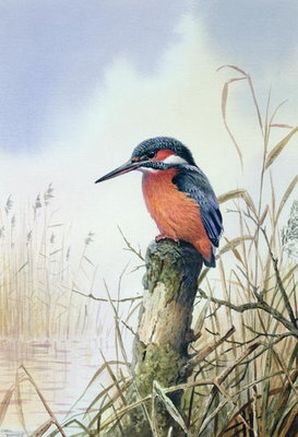 Kingfisher Wall Art & Canvas Prints by Carl Donner
