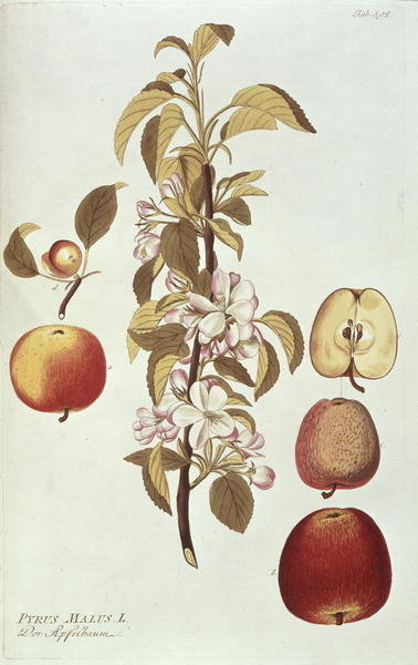 Pyrus Malus Fine Art Print by Joseph Jacob Plenck