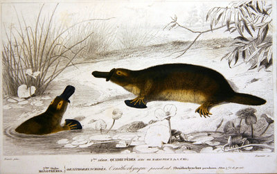Platypi, illustration from 'Dictionnaire Universel d'Histoire Naturelle' by Charles d'Orbigny, engraved by A. Fournier, 1839-49 Fine Art Print by Charles Joseph Travies de Villiers