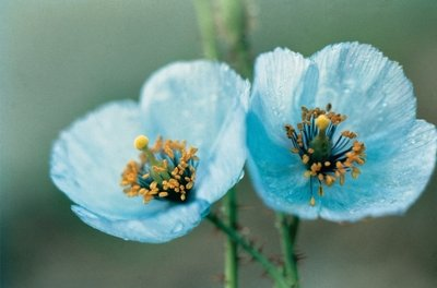 Himalayan Blue Poppy Poster Art Print by Anonymous