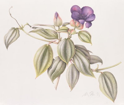 Glory Flower (Tibouchina Urvilleana) 1999 (w/c on paper) Fine Art Print by Margaret Ann Eden