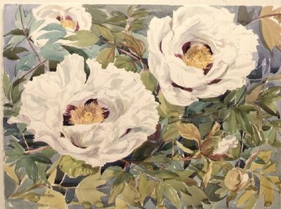 White Tree Peony (w/c) Wall Art & Canvas Prints by Elizabeth Jane Lloyd