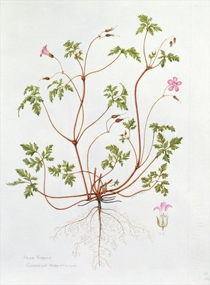 Herb Robert (w/c on paper) Wall Art & Canvas Prints by Diana Everett