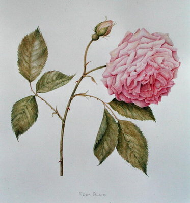 Rosa Blairi (pencil on paper) Wall Art & Canvas Prints by Diana Everett