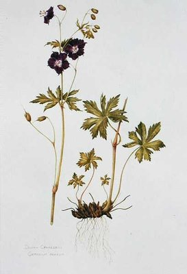 Dusky Cranesbill (w/c on paper) Wall Art & Canvas Prints by Diana Everett