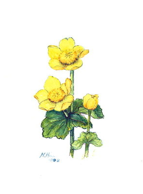 Marsh Marigold, 1998 Fine Art Print by Nell Hill
