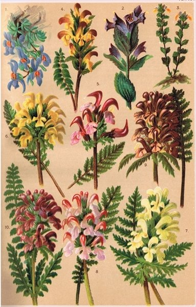 Alpine Plants, illustration from 'Alpine Flora' by Professor C.S. Schroter, published 1921 Fine Art Print by Ludwig Schroter