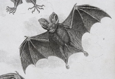 Bat, engraved by Milton (engraving) Wall Art & Canvas Prints by Sydenham Teast Edwards