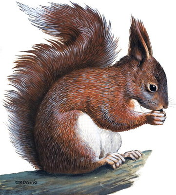 Red Squirrel (gouache on paper) Wall Art & Canvas Prints by R.B. Davis