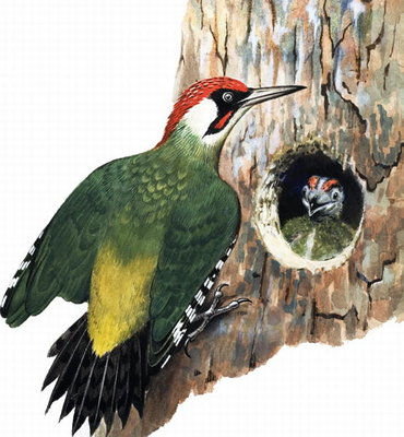 Woodpecker and Chick (gouache on paper) Wall Art & Canvas Prints by R.B. Davis