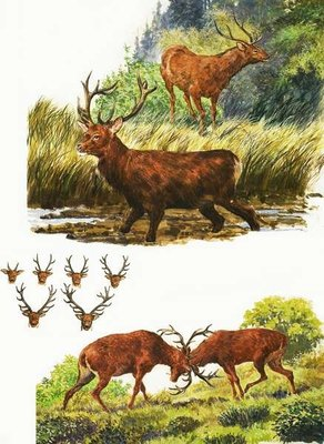 Red Deer Fine Art Print by Eric Tansley