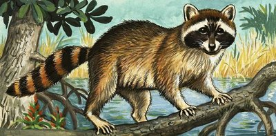 Racoon Fine Art Print by English School