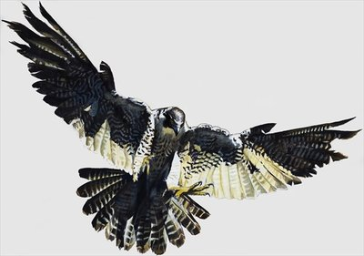 Hawk Wall Art & Canvas Prints by English School