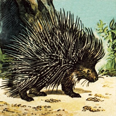 Porcupine Fine Art Print by English School