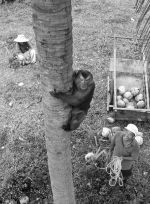 Monkey collecting coconuts, 1980 Fine Art Print by Anonymous