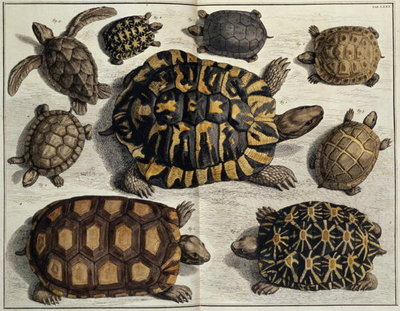 "Turtles: from Albert Seba's ""Locupletissimi Rerum Naturalium"", c.1750 Fine Art Print by Anonymous"