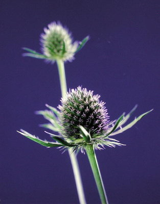 Thistles, 1996 (colour photo) Wall Art & Canvas Prints by Norman Hollands