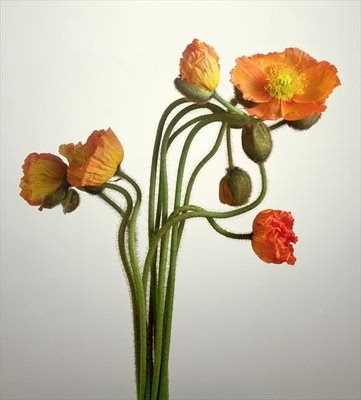 Bendy Poppies, 1995 (colour photo) Fine Art Print by Norman Hollands